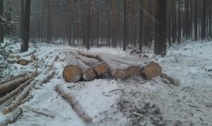 Вырубают леса возле Тальков камня