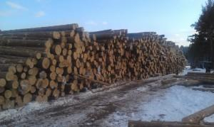 Больные по официальной версии деревья на снимке Евгения Серова