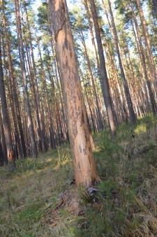 Больные деревья3