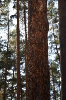 Больные деревья4