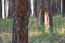 Больные деревья6