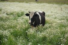 Фермеры Даниловы корова