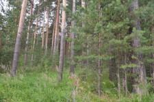 Сосновый бор лес
