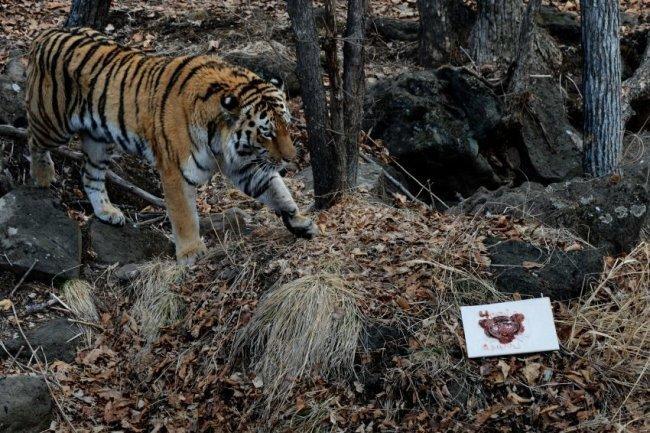 Амурский тигр рисунки